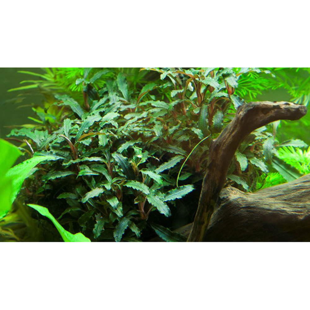 Tropica Bucephalandra sp. 'Red'