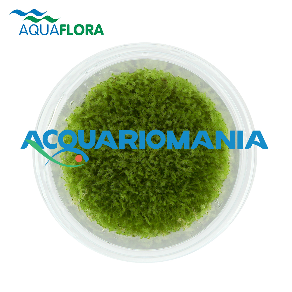 Aquaflora Amblystegium Serpens in Vitro Cup